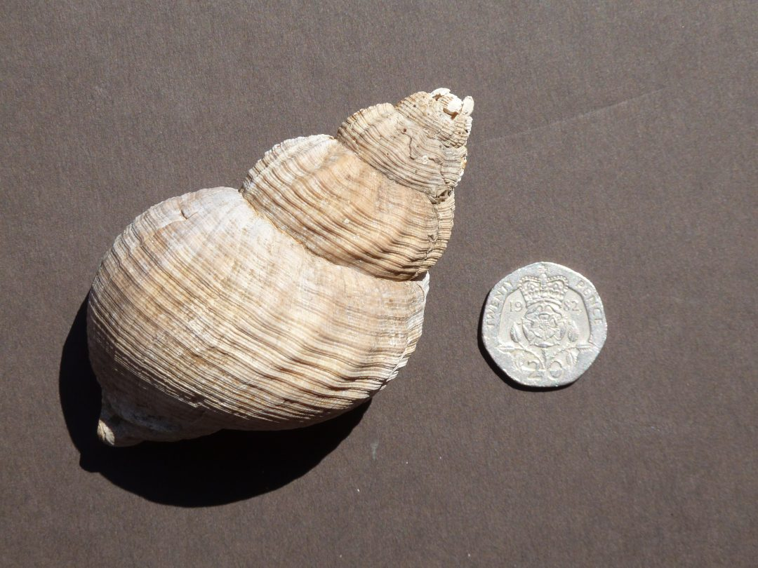 Whelk shell